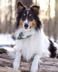 Collie Mix, Rough Collie, English Shepherd, Australian Shepherd, Welsh Sheepdog, Scotch Collie, Sheltie, Livestock, Husky