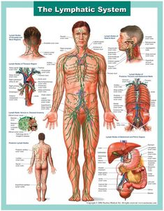 This medical illustration series depicts the anatomy of the lymphatic system. This medical chart illustrates the components of the lymphatic system, including all major lymph nodes and channels. Lymphatic Massage, Lymphatic System, Body Systems, Anatomy And Physiology, Alternative Health, Alternative News, Human Anatomy, Anatomy Drawing, Massage Therapy