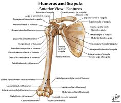 clavicle landmarks | Bony Landmarks Of The Humerus