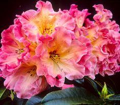 Rhododendron 'Nelda Peach'