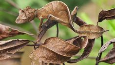 """The incredible satanic leaf-tailed gecko does a spot-on impression of a leaf. """"Thank you, thank you,"""" the gecko says. """"I'll be here for the three to five years of my expected lifespan. Bizarre Animals, Unusual Animals, Cute Animals, Exotic Animals, Interesting Animals, Interesting Photos, Satanic Leaf Tailed Gecko, Camouflage, Animal Species"""