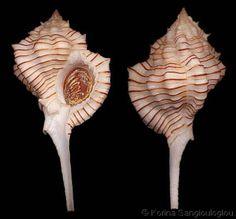 Siratus perelegans   (nomen novum)  (Vokes, E.H., 1965)  Near-elegant Murex  Shell size  45 - 75 mm  W Indies; Mid-Atlantic Ridge