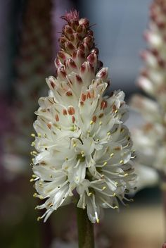 Lachenalia contaminata -- grows in damp ground in the Western Cape  -- flowers in late spring.
