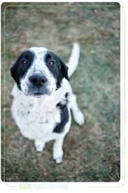 Image result for pointollie Pocket Pitbull, Border Collie Mix, Best Dogs, Pitbulls, Terrier, Pyrenees, Socks, Animals, Image