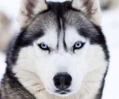 Siberian Husky Breed Jewelry Puppy Face Earring Studs