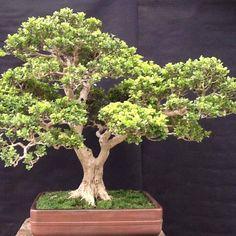 Boxwood Boxwood Bonsai, Bonsai Plants, Bonsai Trees, Buxus Sempervirens, Love Photos, Tree Art, Evergreen, House Plants, Scenery