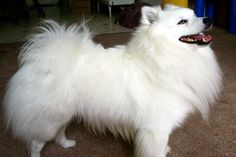The Miniature American Eskimo Dog is an intelligent, energetic, playful, and affectionate companion dog. They are excellent watchdogs, and take their watchdog duties very seriously. They are naturally protective of their homes and families.