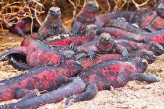 Galapagos Islands Santa Cruz & Espanola Photo Gallery-Christmas Iguanas on Espanola Island