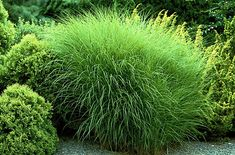 Ornamental grass front yard google search in the for Full sun perennial grasses