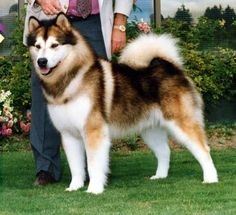 Alaskan Malamutes are so pretty! Sable & White. I HAVE A FEELING AVI WILL LOOK LIKE THIS