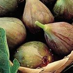 3 Cutting plants fig cuttings 3 Hardy Figs Hardy by KnitSew4U, $6.99