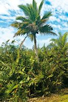Helechales de matatigre, Acrostichum aureum, formación vegetal ribereña que constituye un hábitat para varias especies de fauna.