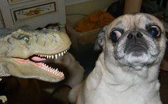 Jurassic Pug Jurassic Pug from @seattletimes pet page ;)