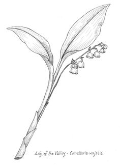 lily of the valley botanical drawing - Google Search