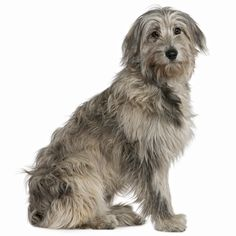 The Pyrenean Sheepdog comes in two varieties – smooth faced and rough faced. The rough faced type has slightly long air around the muzzle, while the hair around the muzzle on the smooth faced is shorter and finer. Both types of Pyrenean Sheepdog are considered to be the oldest French breed. - See more at: http://www.noahsdogs.com/m/dogs/breed/Pyrenean-sheep-dog-long-haired#sthash.hHaxbqa4.dpuf