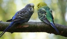 The budgerigar, aka budgie, or more famously - parakeet, is actually a member of the parrot family. There are 115 known species of parakeet. But we will be focusing on the budgerigar or common parakeet. The kind you find in pet stores all over the world. In captivity, these sweet and social birds have little fear of humans and can even, with some patience, be taught to speak. #Australia #avian #bird #budgerigar #budgie #fly #parakeet #parrot #pet #wings #worldwide Parakeet Cage, Budgie Parakeet, Cockatiel, Budgies, Types Of Pet Birds, Budgerigar Bird, Female Peacock, Colorful Parrots, Colorful Birds