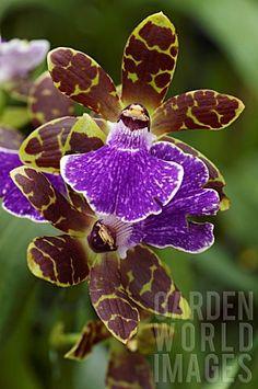 Zygopetalum Titanic Orchid