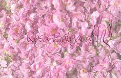 http://eartesano.com/ Hoy os traigo el Aceite Esencial de Rosa Búlgara, también conocido como Rosa Damascena. http://wp.me/p3EEwy-jJ #aceiteesencial #RosaBulgara