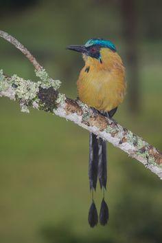 Barranquero,  Andean Motmot,  Momotus aequatorialis