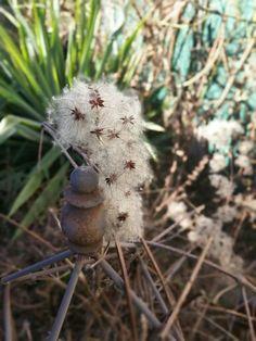 Clematisblüte nach dem blühen