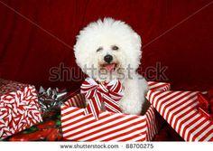 Christmas Bichon