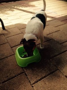 Zepp eating left over catfood