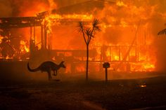 Apocalyptic Scenes in Australia as Fires Turn Skies Blood Red A kangaroo rushes past a burning house in Lake Conjola, New South Wales, Australia, on Tuesday.Matthew Abbott for The New York Times décembre 2019 January 2020 . Australia Map, Ugg Australia, Sydney Australia, Australia Country, Australia Hotels, Sharon Stone, Nicole Kidman, Great Barrier Reef Australia, Bushfires In Australia