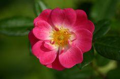 Rose | fleur rose une fleur rose resolution 1536x1024 poids 306 54 kio auteur ...