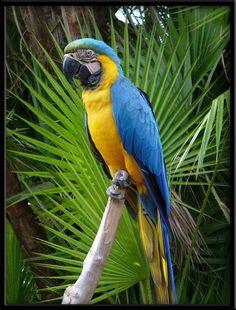 macaw | Blue Macaw by linmorash