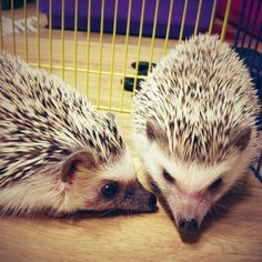 It's Small Pets Month and we're kicking things off with a list of 8 small exotic pets that you may have never heard of before. Pygmy Hedgehog, Baby Hedgehog, Carnivorous Animals, Baby Animals, Cute Animals, Guinea Pig Toys, Cat Toys, Amazing Animals, Nocturnal Animals
