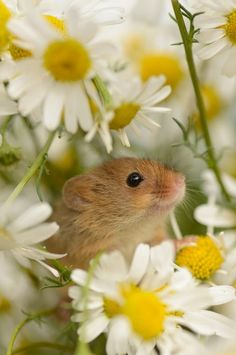 Animals that Start With D - (Dormouse) This small and cute creature belongs to the rodent family and was found in Europe. 29 species of this mouse are present worldwide and are mostly known for the long periods of hibernation in the cold months. It can grow to 25 cm long and that is depending on which species belongs and can move easily without being noticed. #AnimalsthatStartWithD #Dormouse