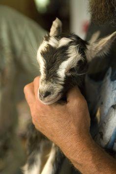 baby #goat