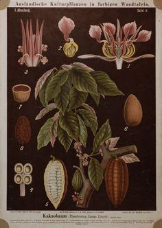 Dying for Chocolate: Chocolate (Theobroma Cacao) Botanical Illustration
