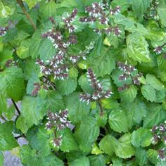 Patchouli : anti-inflammatory, tissue regenerative, tonic, cytophylactic, antiseptic, decongestant, antibiotic, antifungal, antidepressant, aphrodisiac, astringent, calmative, nervine AFFINITY FOR: reproductive system, hormones, urinary tract, liver, yang energy, sacral chakra, stomach meridian RESONANCE: physical, emotional http://pureintentessentials.com/pure/products/oils/single-essential-oils/patchouli/