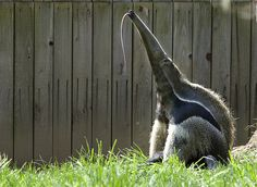 Anteaters are unusual creatures that can be found in Central and South America. There are four species of of anteaters: giant anteater, silky anteater, Parakeet Care, Budgie Parakeet, Budgies, Baby Animals, Funny Animals, Cute Animals, Odd Animals, Beautiful Creatures, Animals Beautiful
