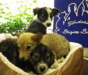 En quelques mois, la Fondation Brigitte Bardot a pris en charge plus de 50 chiens exploités par les Roms dans des conditions lamentables. (Suite de l'interpellation d'une femme de nationalité roumaine au coeur de l'île de la Cité en juillet).