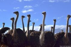 Oudtshoorn the Ostrich capital of the world. Visit one of our show farms to learn more about ostriches in the Klein Karoo The Ostrich, Ostriches, Nature Reserve, Natural Wonders, Big Cats, Ecology, Outdoor Activities, Farms, Rust