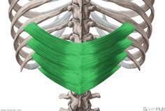 Serratus Posterior Inferior Muscle   serratus posterior inferior muscle musculus serratus posterior ...