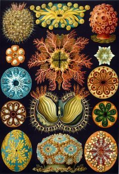 Ernst Haeckel's beautiful full color illustration of the various forms of anemones he encountered in his studies. All of our prints are beautifully rendered on 13 by 19 professional heavyweight matte