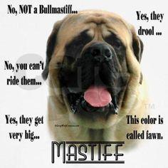 Love our Mastiffs :)