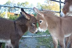 ctsuddeth.com: Donkeys in a stare down.
