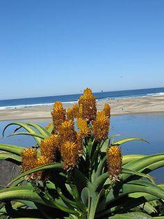 Aloe Thraskii Dune Aloe Strandaalwyn m m ) SA no Plants, Organic Mulch, Ornamental Grasses, Cacti And Succulents, Aloe, Landscape, Desert Plants, Planting Succulents, Water Wise Plants