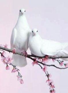 Vredes duifjes