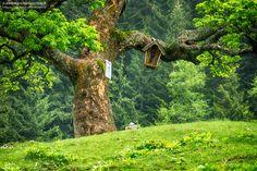 Sohlenalm_Niederalpl_Alter Baum