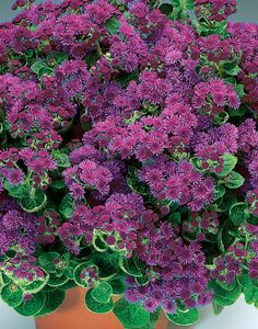 Artist Purple Ageratum will carpet your landscape in purple, all season long. This is one tough, and no-care required variety. Very heat tolerant.
