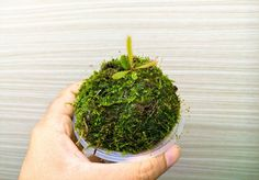 #drosera #adelae  #sundew #carnivorous  #carnivorousplantswag  #carnivorousplants  #mossball #moss by trapstw