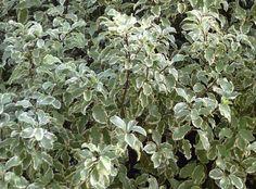 1000 id es sur le th me arbustes feuillage persistant sur pinterest arbustes feuilles. Black Bedroom Furniture Sets. Home Design Ideas