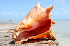 Conch Shell at Adelaide Beach Nassau Paradise Island Bahamas - a great place for shells but something MY daughter and I should not have done alone.....