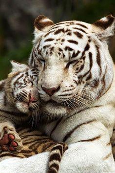 White tiger with cub. - title 'True Love' - by Shoaib Mendi