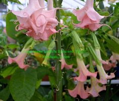 brugmansia 'La Belle Reine' and 'Harlot'